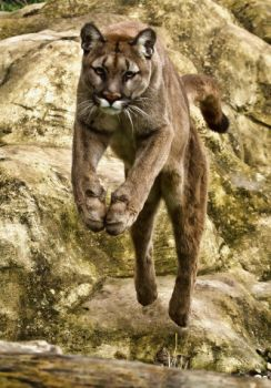 Leaping Puma by mansaards