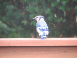 Bluejay II by LithiumStock