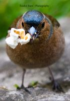 Chaffinch popcorn by Teophoto