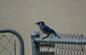 Lovely Blue Jay by MicWits101