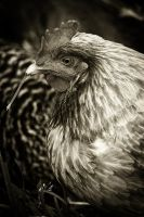 Country Chicken 7 by S-H-Photography