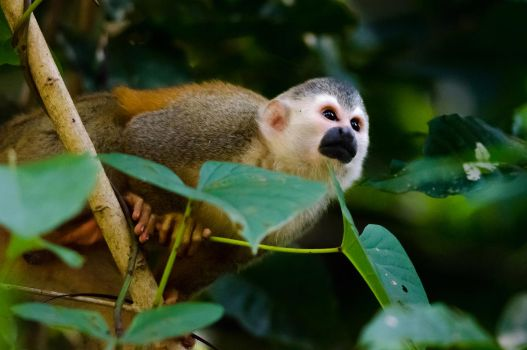Squirrel Monkey by do7slash