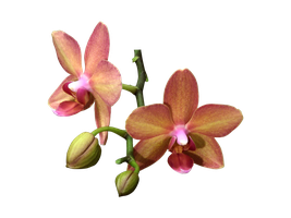Orchid flowers png by Adagem