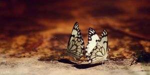 Two Butterflies by 4Gemsbok
