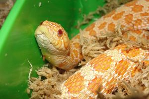 Beewa - Albino Western Hognose F by the-shiznite