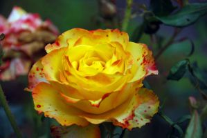 yellow rose by Aishlling