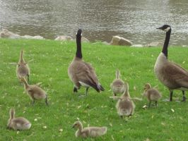 Wild Geese Family by TolekaChan