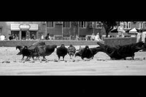 Some of pigeons by tarasische