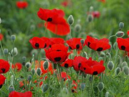 Poppies by HempHat