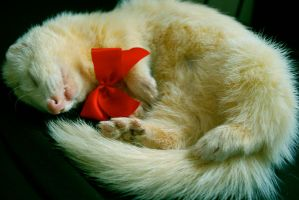 Christmas Ferret. by Amy-Zarah