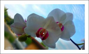 Orchid..... by gintautegitte69