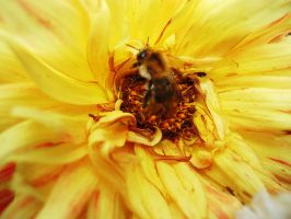 bee and yellow flower by Judofighter78