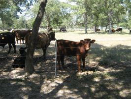 Meeting Victoria Cows by Neriah-stock