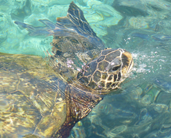 Wild Green Sea Turtle by Gazzelles