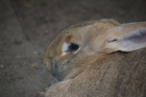 Flemish giant rabbit 10 by Silver-she-wolf-14
