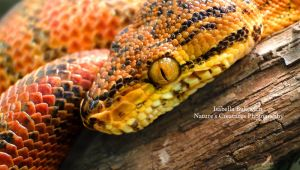 Sunset Boa by NaturesCreatures