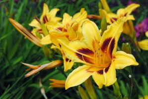 Day lilly 3 by LucieG-Stock