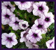 maybe petunias by GeaAusten