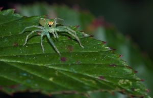 Tiny Big Eyed Spider by drhine
