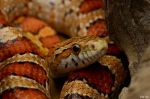 3.Corn snake by Bullter