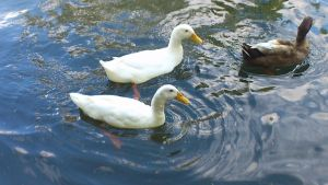 Late August White Ducks 1 by Dan-S-T