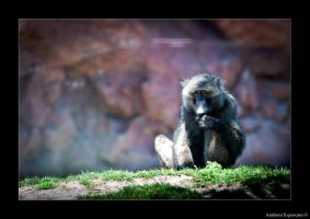 Baboons curious stare by AmbientExposures