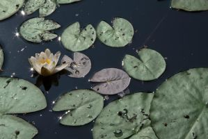 Water Lily II by MyTini