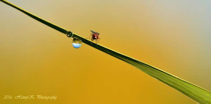 Grassblade-dewdrops-and-a-fly by fotoponono