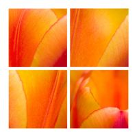 Flower Abstracts - Tulips by TheTruthSeeker