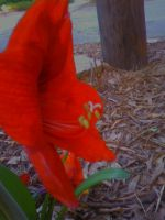 Red Daylilly by FroggieFaith