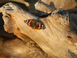 butterfly on log by millie369
