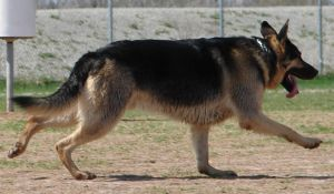 German Shepherd Dog 1 by FantasyStock