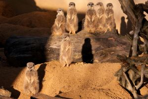 Meerkat Family by mungo24601
