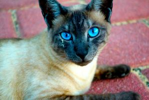 The Story Behind The Eyes (Cat Photography) by BlackandBluebirds
