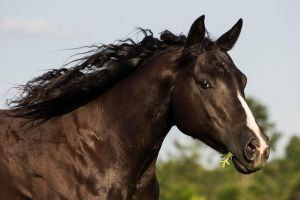 Quarter Horse stock 1 - dark bay/black by Skunktail17