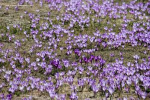 Field of Crocus by Dristor2507