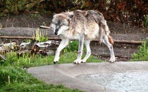 Wolf in the Rain by Aestera