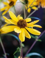 Swamp Sunflower 1 by trinity343