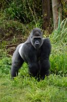 SILVERBACK by major-holdups