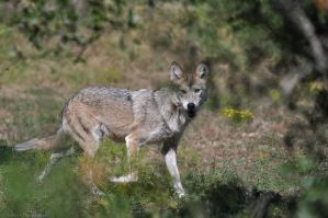 Mexican Wolf 3763 by robbobert