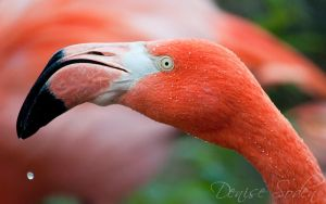 American Flamingo by DeniseSoden