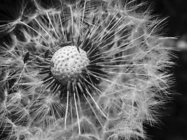 Dandelion II by Smile-Denise