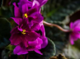 African violet in pink by lapis-lazuri
