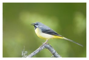Grey Wagtail by Neutron2K
