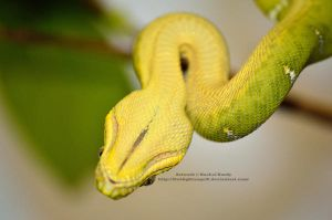 Derpy the Green Tree Python by 8TwilightAngel8