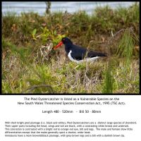 Pied Oystercatcher by BeauNestor
