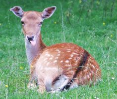 a cheeky young doe by lucyparryphotography
