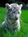 Tigre Blanc by mlle-aman