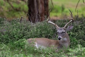 Whitetail 3852 by robbobert