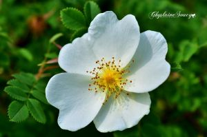 White wildrose by gigi50